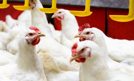 White chickens farm Stock Photography