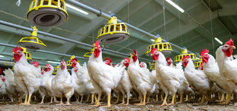 White chickens farm Royalty Free Stock Photos