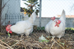 White chickens farm, real scenery at hens house Stock Photography