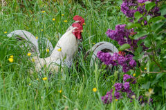 3 White Chickens in tall green grass and purple lilacs Royalty Free Stock Photography