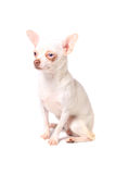 White chihuahua Stock Images