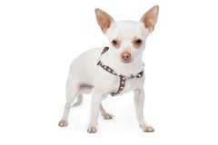 White Chihuahua Stock Photo