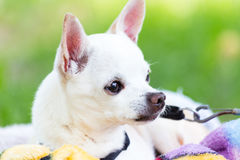 White chihuahua. Alerted and on guard as he sees someone approach Royalty Free Stock Photography