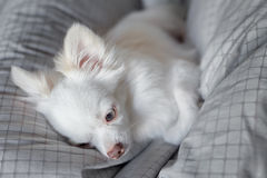 White Chihuahua. Be innocent on a bed. It is awakening in morning royalty free stock photography