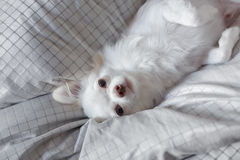 White Chihuahua. Be innocent on a bed. It is awakening in morning stock photos