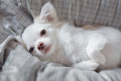 White Chihuahua. Be innocent on a bed. It is awakening in morning royalty free stock photo