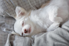 White Chihuahua. Be innocent on a bed. It is awakening in morning royalty free stock photos