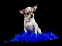 White chihuahua on black background Stock Photography