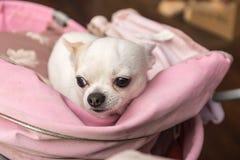 White Chihuahua closeup Stock Photography