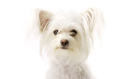 White Chihuahua Cross Sat Isolated on a White Background Stock Photos