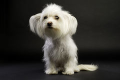 White Chihuahua Cross Sitting on a Black Background Royalty Free Stock Photo