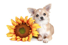 White chihuahua dog lying with sunflower Royalty Free Stock Photos