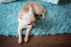 White chihuahua dog lying on a turquoise blue carpet, wood floor at home Royalty Free Stock Image