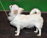 White Chihuahua dog profile royalty free stock photos