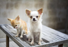 White Chihuahua dog Royalty Free Stock Image