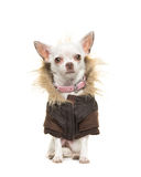White chihuahua dog wearing a brown winter coat Royalty Free Stock Photography