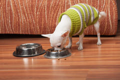 White Chihuahua dressed with pullover feeding granules at home Stock Images
