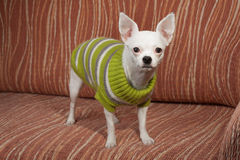 White Chihuahua  dressed with pullover standing  on sofa Stock Photo