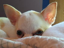 White chihuahua face small stock images