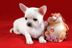 White chihuahua puppy Royalty Free Stock Image