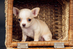White Chihuahua puppy sitting to cart Royalty Free Stock Photo
