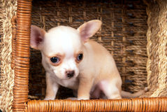 White Chihuahua puppy sitting to cart Stock Photos