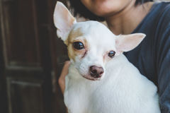 White chihuahua sick. In human arms Royalty Free Stock Image