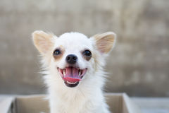 White chihuahua siting in box Stock Photography