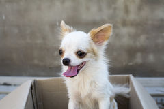 White chihuahua sitting in box Royalty Free Stock Photo