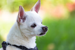 White chihuahua sitting up Royalty Free Stock Photography