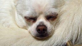 White chihuahua small dog rescue Stock Image