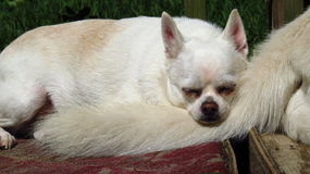 White chihuahua small dog rescue Stock Images