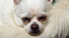 White chihuahua small dog rescue Royalty Free Stock Photos