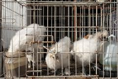 White chikens of special breed sitting in cage. Royalty Free Stock Image