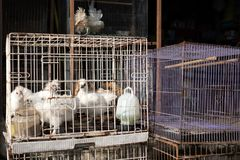 White chikens of special breed sitting in cage. Royalty Free Stock Photos