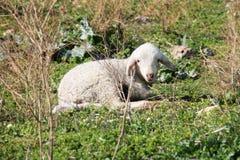 White child sheep Stock Photo