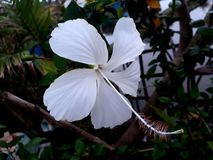 White China rose. The beauty of white China rose stock photo