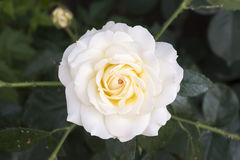 White china rose rosa chinensis jacq Royalty Free Stock Photos