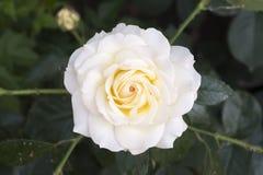 White china rose rosa chinensis jacq. White china rose close-up.rosa chinensis jacq royalty free stock photos
