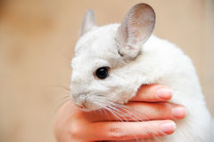 White chinchilla Stock Image