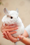 White chinchilla Stock Photography