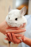 White chinchilla Royalty Free Stock Photography