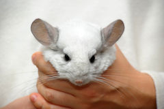 White chinchilla Royalty Free Stock Images