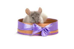White chinchilla Royalty Free Stock Image