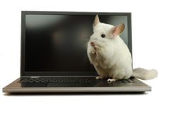 White chinchilla sitting on a laptop Royalty Free Stock Photography