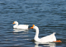 White Chinese Geese. Pair of white chinese geese at the lake Stock Photo