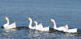 White Chinese Geese. At the lake Royalty Free Stock Image