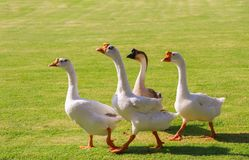 White Chinese geese clamor for food Stock Photography