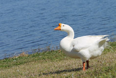 White Chinese Goose. White chinese geese at the lake Royalty Free Stock Images