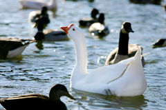 White chinese goose. A white chinese goose swimming with the mallard ducks Royalty Free Stock Photos